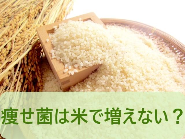 痩せ菌は米では増えないの