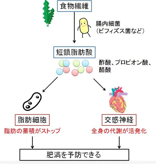 短鎖脂肪酸の働き